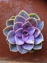 Purple Succulent or Hen & Chicks