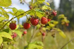 Wild raspberry is the seasonal delicacy right now available in the Finnish forests. If you do not yet have plans for your holiday, fly over to Helsinki and take a train or bus to one of our destinations, where you can have a berry picking tour. After raspberry there will be cranberries and mushrooms, which everyone has right to pick up in any forest. #wildfood #raspberry