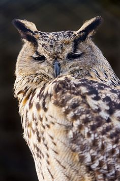 The Indian Eagle-Owl also called the Rock Eagle-Owl or Bengal Eagle-Owl (Bubo bengalensis)