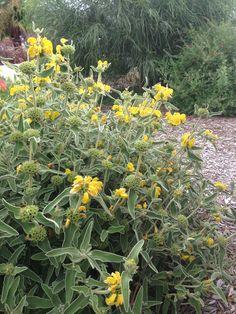 Yellow Sage? At SRF