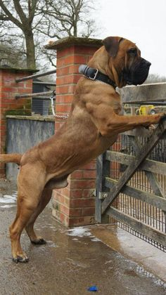 Boerboel - owned by Topguard Boerboels. Cachorros Rottweiler, South African Boerboel, Farm Dogs, Bullmastiff, Real Dog, Large Dog Breeds, Cane Corso, Pet Dogs, Dogs And Puppies