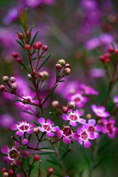 tinnacriss: Tinacrist  Chamelaucium uncinatum (Myrtaceae) by Brent Miller