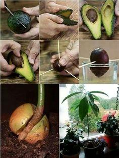 Como plantar abacate: deixe a semente no copo até criar raízes, depois transfira para o vaso.