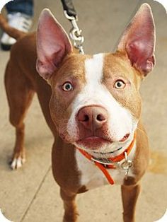 Detroit, MI - American Pit Bull Terrier/American Staffordshire Terrier Mix. Meet Kobe- Silly Guy!, a dog for adoption. http://www.adoptapet.com/pet/9728343-detroit-michigan-american-pit-bull-terrier-mix