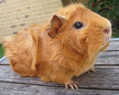 I have two favourite guinea pig breeds: Texels (Curlies) and Sheba Mini Yaks (Fluffies). We work with a lot of other breeds here at the ca. Baby Guinea Pigs, Pet Pigs, Baby Pig, Guinea Pig Breeding, Cute Piggies, Pet Rabbit, Cute Creatures, Pet Store, Cute Animals