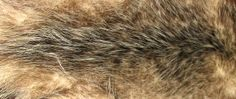 Opossum: Wooly and coarse, with a short, dense plush-like fur in colors ranging from yellow-grey to natural brown. Opossum is often used for liners and men's coats. The very different American variety has long silvery black-tipped guard hair with thick under fur.