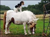 A Jack Russell Dog with no training has learned to ride a Shetland PonyKev xtop-dog-tips.blogspot.com/2006/09/dog-training-as-jockey....