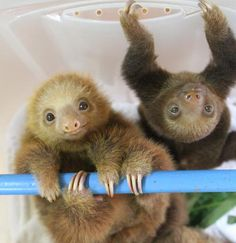 baby sloths!  those claws look dangerous, even on the babies