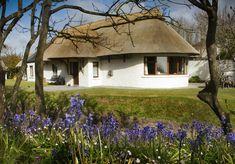 Bluebells starting to flower at Thatcher's Rest Cottage.