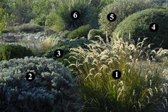 1 : Stipa calamagrostis  2 : Santolina neapolitana 'Edward Bowles'  3 : Lomelosia cretica  4 : Cistus x skanbergii  5 : Phlomis fruticosa  6 : Dasylirion sp.