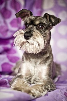This is a beautiful Miniature Schnauzer ✨✨