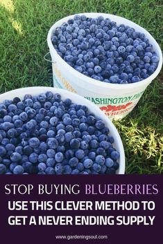 Stop Buying Blueberries- Use This Clever Method To Get A Never Ending Supply Garden Soil, Fruit Garden, Edible Garden, Lawn And Garden, Garden Care, Garden Beds, Blueberry Plant, Blueberry Bushes, Growing Vegetables