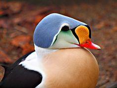 That's some hat! Wait, it's your head?  Prachteiderente | Flickr - Photo Sharing!