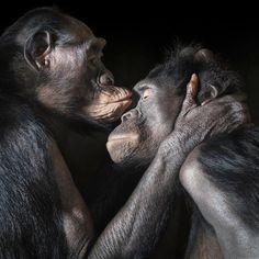 """""""Bonobos Kiss"""" - Tim Flach"""
