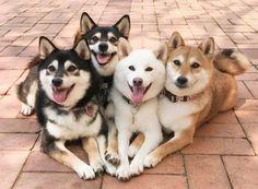 「こんなになかよしです‼❤」 Cute Baby Animals, Animals And Pets, Funny Animals, Super Cute Puppies, Cute Dogs, Shiba Inu Doge, Tattoo L, Japanese Dogs, Silly Dogs