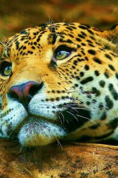 Fantastic Pic amur leopard Endangered Species Suggestions You know how considerably Everyone loves wildlife. I've truly traveled world to trap a glimpse of family pets . Big Cat Species, Endangered Species, Jaguar, Funny Animals, Cute Animals, Amur Leopard, Cute Animal Pictures, Big Cats, Beautiful Creatures