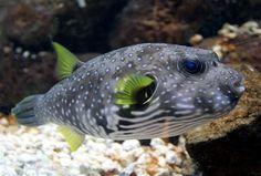 Puffer Fish, saltwater fish aquarium - Aquatic Connection
