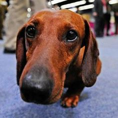 cute dachshund pictures - Google Search