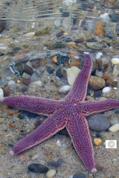 I loved the purple color of this starfish I found at Nauset Beach, Orleans, MA, Cape Cod. As I was helping it make it out to sea before the tide went out, I caught this shot of it below the waves. Purple Love, All Things Purple, Purple Rain, Purple Beach, Purple Stuff, Under The Water, Under The Sea, Deep Blue Sea, Water Life