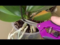 🍀 Ingrijirea orhideei pas cu pas pentru incepatori   Eu stiu TV - YouTube Garden Tools, Youtube, Interiors, Plant, Indoor House Plants, Flowers, Good Morning, Yard Tools, Youtubers