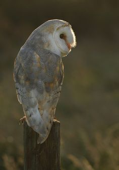 Luna - A beautiful barn owl I have great pleasure working with.