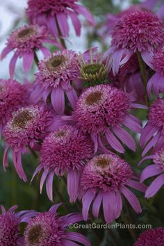 Coneflower with double flowers. What a treat!  Echinacea Pink Double Delight. Long lasting fragrant cut flower