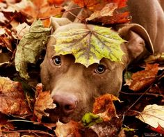 Beautiful! #Fall #Autumn #PitBulls