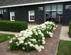 Hydrangea 'Annabelle' bij landelijk woning