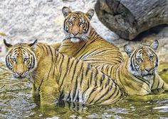 Malayan Tigers in the water