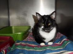 Mittens is an adoptable Domestic Short Hair-Black And White Cat in Coos Bay, OR. Sweet Mittens is a gentle tuxedo marked soul who will likely be a wonderful companion once she gets a chance to bond wi...