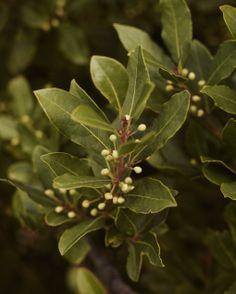 Bayleaves! http://www.underthealmondtree.com/2014/03/02/braised-chicken-wild-oregano-olives/