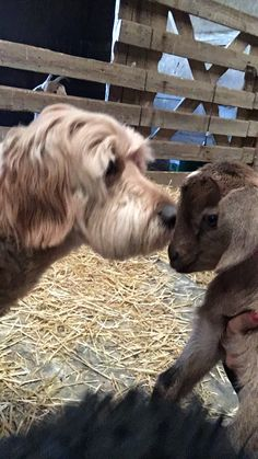 Maggie the Goldendoodle loving on a goat