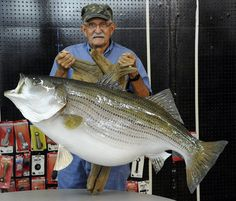 IGFA World Record striped bass mounted and ready for public viewing