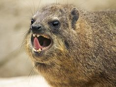 Rock Hyrax, the closest living relative to the elephant? Is this true? Find out why this startling fact is true for such a small creature.