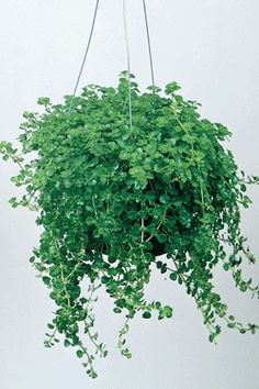 1000 images about hanging plants on pinterest pilea for Low maintenance indoor hanging plants