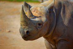Black Rhino   Flickr - Photo Sharing!