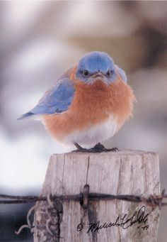 Mad Bluebird My daughter-in-law bought me one of these cute little birds back in 1994 on of my favorite pictures Pretty Birds, Love Birds, Beautiful Birds, Tier Fotos, Backyard Birds, Mundo Animal, All Gods Creatures, Little Birds, Angry Birds