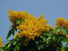 ดอกประดู่  Plerocarpus Indicus, ดอกประดู่. ชื่อวงศ์, FABACEAE. ชื่อสามัญ, Padauk. ชื่ออื่นๆ, Burmese Rosewood