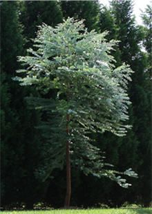 Eucalyptus Tree | Silver Dollar Eucalyptus Trees & Eucalyptus Plants - repels fleas from your yard, incredibly aromatic and no leaves to rake and has foliage year round! Perfect for Houston!