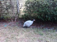 Remember the guinea hen that was in the neighborhood for a couple weeks?