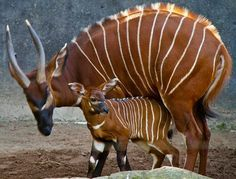 bongo and mother. A highly endangered species, there are now more bongos in captivity than in the wild.Baby bongo and mother. A highly endangered species, there are now more bongos in captivity than in the wild. Amazing Animals, Interesting Animals, Unusual Animals, Rare Animals, Animals Beautiful, Wild Animals, Bizarre Animals, Extinct Animals, Tier Fotos