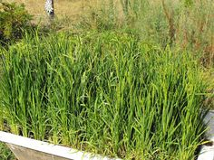 How To Grow Rice at Home