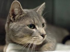 TO BE DESTROYED 6/2/14Brooklyn CenterMy name is LEO. My Animal ID # is A1000689.I am a male gray tabby and white domestic sh. The shelter thinks I am about 1 YEAR 7 MONTHS old.I came in the shelter as a STRAY on 05/22/2014 from NY 11435, owner surrender reason stated was STRAY. MOST RECENT MEDICAL INFORMATION AND WEIGHT05/31/2014 Exam Type RE-EXAM - Medical Rating is 3 C - MAJOR CONDITIONS , Behavior Rating is EXPERIENCE, Weight 10.0 LBS.URI NOTED ON VET ROUNDS BAR. FRIENDLY. SNEEZING. MILD…