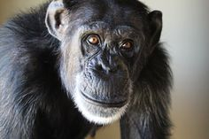 FOXIE : There is something endearingly childlike about Foxie. She is sweet (and sassy) and playful and full of joy. She sometimes stares deeply into her caregivers' eyes, seemingly mesmerized. She loves her chimp family and wants everyone to get along.