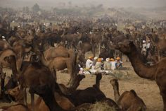 Ajit Solanki—AP Nov. 10, 2013. Indian camel herders sit near their camels during the annual cattle fair in Pushkar, in the western Indian state of Rajasthan.