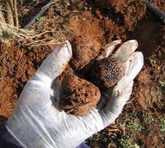 Canadian Truffles (Trufficulture) | DuckettTruffieres.com