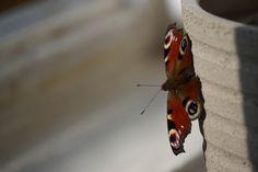 Moth, Pictures, Animals, Photos, Animales, Animaux, Resim, Animal, Clip Art