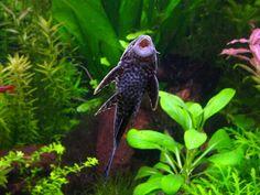 Algae Eater | Tropical Fish Profiles: Pleco (Algae Eater)