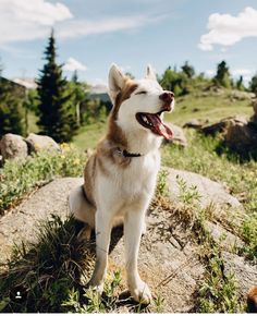 Cute huskey puppy