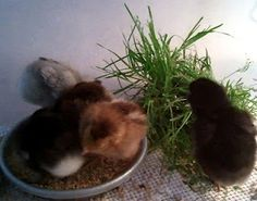 Give baby chicks clumps of grass with the roots & dirt, the dirt acts as a grit for them. Make sure it's not treated grass!